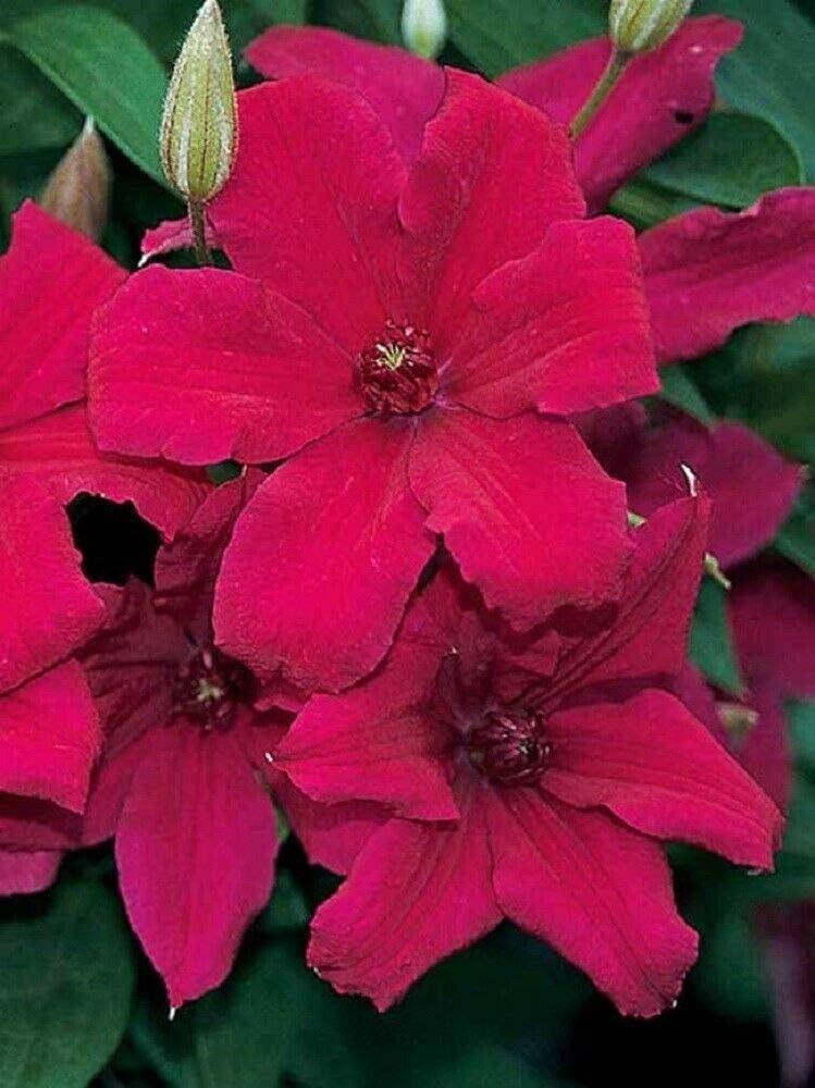 SmartMe Live Plant - Cardinal Clematis Special OFFicial store Campaign Crimson Vine Wyszynski