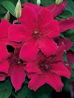 """SmartMe Live Plant - Cardinal Wyszynski Clematis Vine - Crimson Flowers - 2.5"""" Pot - Flowering Plant"""