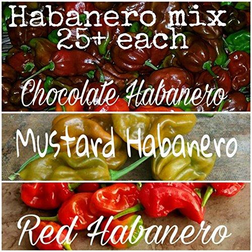 (75+) Schokolade Red Mustard Haba Seeds 25 jeweils getrennt Samen
