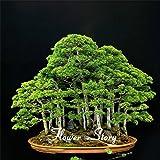 20 ginepro bonsai semi di fiori in vaso bonsai ufficio purificare l'aria assorbono i gas nocivi