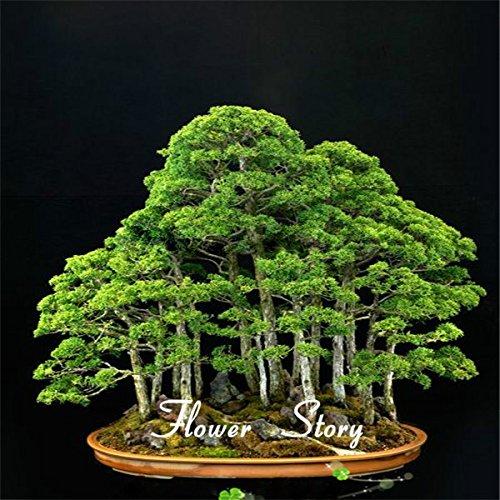 20 Wacholder Bonsai-Baum-Samen Topfblumen Büro Bonsai reinigen die Luft absorbieren schädliche Gase