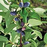 Heidelbeere 'Reka' - Blaubeeren Pflanze mit guten Erträgen auch an schwierigen Standorten. Ein Heidelbeerstrauch mit säuerlich süßen blauen Beeren. Qualitätspflanze im Container von Garten Schlüter
