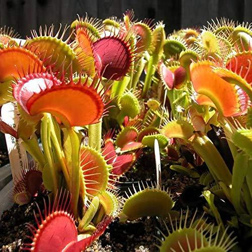 Semillas de Dionaea Muscipula Venus Atrapamoscas Plantas carnívoras Sembradora Cultivo de plántulas Semillas de Dionaea muscipula 100 piezas