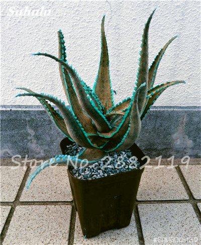 50 Pcs Aloe Vera Graines Beauté comestibles cosmétiques colorés Bonsai Cactus Succulentes Plantes Fleurs Fruits Légumes Semences pour 6 Balcon