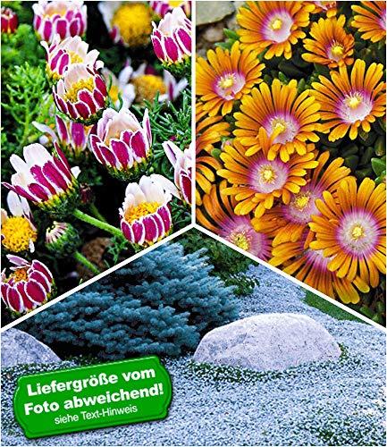 BALDUR-Garten Afrikanisches Ringkörbchen, 2 Pflanzen Delosperma \'Fire Spinner®\' und 2 Pflanzen Isotoma \'Blue Foot\'® Bodendecker winterhart