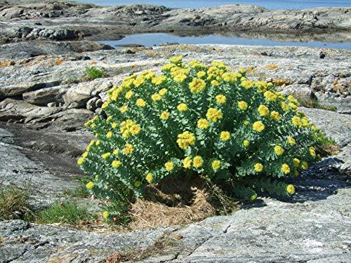 Asklepios-seeds® - 100 Samen Rhodiola rosea, Rosenwurz, seltene Heilpflanze