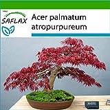 SAFLAX - Acero palmato rosso - 20 semi - Con substrato - Acer palmatum atropurpureum