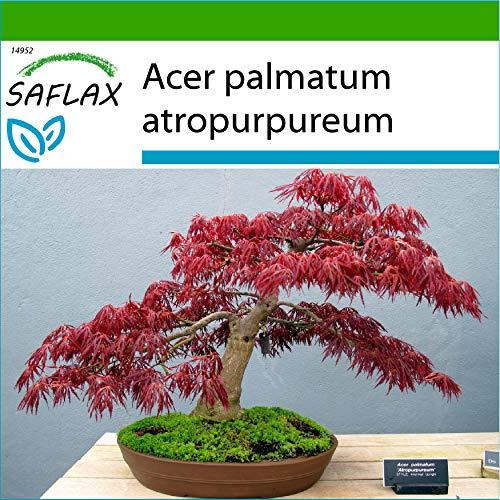 SAFLAX - Bonsai - Roter Fächerahorn - 20 Samen - Mit keimfreiem Anzuchtsubstrat - Acer palmatum