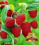 BALDUR Garten Himbeeren TwoTimer® Sugana®, 1 Pflanze Rubus idaeus Himbeerpflanze