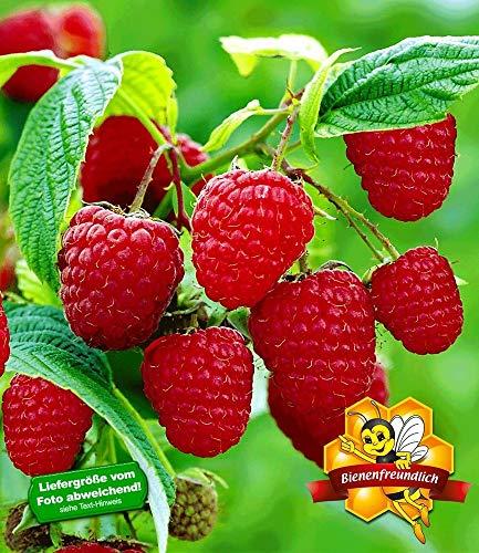 BALDUR-Garten Himbeeren TwoTimer® Sugana®, 1 Pflanze Rubus idaeus Himbeerpflanze
