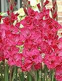 Pink Gladiolus Value Bag