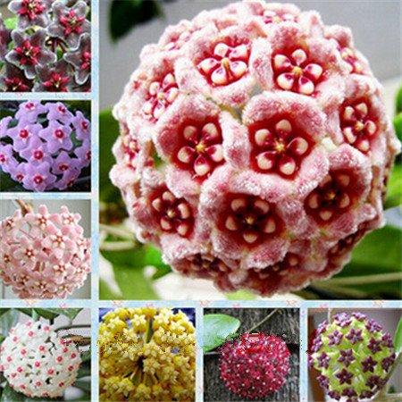 Vente chaude 2016 20 Couleurs rares graines de hoya Graines de fleurs 50pc / pack Bonsai Graines Maison & Jardin Livraison gratuite