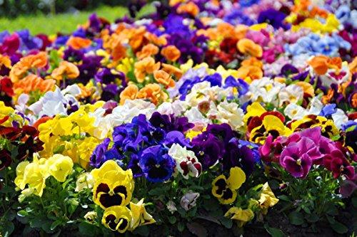 Grande pensée de jardin fleuri - mélange de variétés - 600 graines