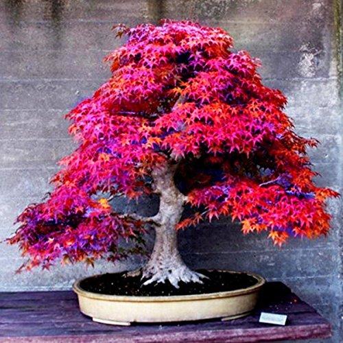 8 types Bonsaï Graines rares Maple Graines Plantes Pot Costume pour le bricolage jardin japonais Maple Seeds 20 Pcs / Kinds