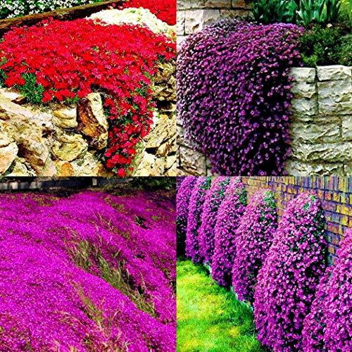 Acecoree Samen- Polsterthymian Samen,Blumen-Teppich duftender Thymian Bodendecker Blumensamen winterhart mehrjährig Blumen bienenfreundliche Teppichpolster-immergrüne