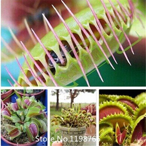 2016 Hot Seed 300 Pieces commun Flytrap graines Bonsai pot Dionaea Plante fleur Graine Terrasse Jardin Plante carnivore
