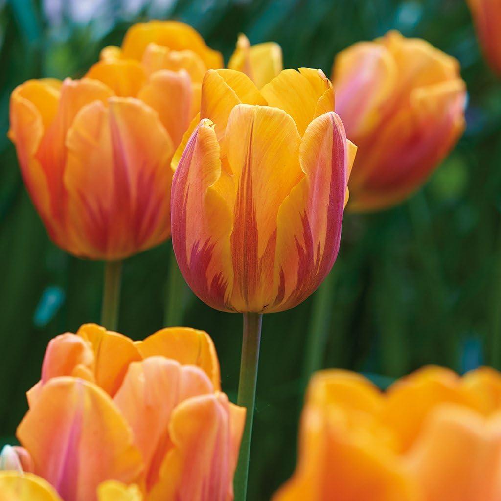 Van Zyverden Tulips Princess Irene Set of 12 Bulbs