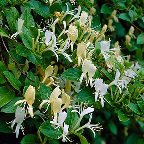 Lonicera Japonica 'Halliana' - Hall's Japanese honeysuckle 50-60 cm potted