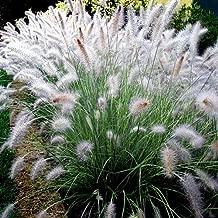 Dwarf Fountain Grass - Size: 1 Gallon (Pennisetum alopecuroides 'Hameln')