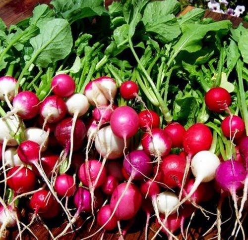 mélange de radis aux œufs de Pques 500 graines récolte en 30 jours NON GMOHeirloom CombSH