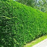 Cupressocyparis Leylandii Hedging Trees