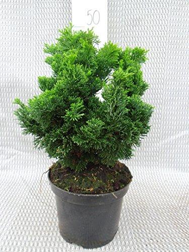 Zwerg Muschelzypresse - Chamaecyparis obtusa Nana Gracilis - verschiedene Größen (30-35cm - 3Ltr.)