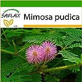 SAFLAX - Sensitiva - 70 semillas - Con sustrato estéril para cultivo - Mimosa pudica