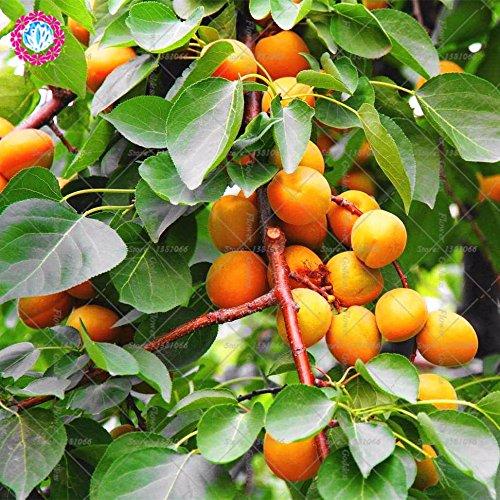 2pcs albaricoque suculento de los árboles frutales de semilla pequeña semilla Variedades Tender Mouthwatering plantados para fácil plantiation jardín balcón