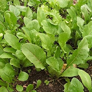 Collection of 10 Salad Green seed varieties - Black Seeded Simpson, Endive Salad King, Ruby Red, Green Oakleaf, Romaine Parris Island Cos, Arugula, Grand Rapids, Buttercrunch, D'Avignon Radish