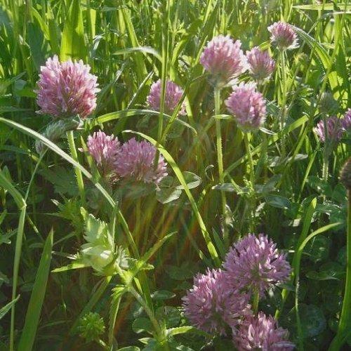 Wilder Rot-Klee, Wildblume, 3000 Samen