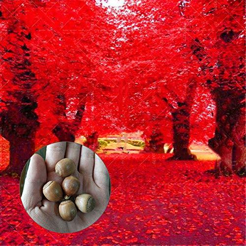 KINGDUO Egrow 2 Pcs/Pack American Red Oak Seeds Beautiful Tree DIY Home Garden Plants Bonsai Tree Easy to Grow