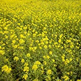 Outsidepride White Mustard Plant Seed - 5 LBS