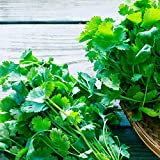 Gaea's Blessing Seeds - Cilantro Seeds 300 Seeds Non-GMO Leisure Coriander Heirloom 90% Germination Rate Net Wt. 3.4g