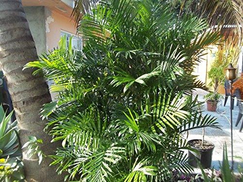 25Samen der bergpalmen seifrizii, Bambus Palm, reed Palm