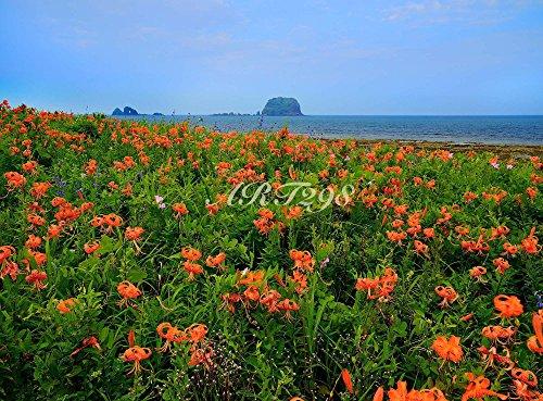 『風景写真ポスター 山形 飛島荒崎オニユリ01 自然と伝説の、山形唯一の有人島が飛島です。草花と野鳥の宝庫。荒崎は「日本の渚百選」に選ばれ、夏にはオニユリが群れ咲きまず。花言葉は「愉快」「純潔」「富と誇り」。お好みの額に入れたり、ボードに貼ったりして飾ってください。サイズ44×59.4cm』の1枚目の画像