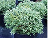 50 Red Cedar Japanese Tree Seeds ~ Cryptomeria Japonica ~'Sugi' Grown by West Seed Farm