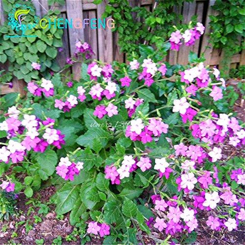 Chine Winged tabac Bonsai Fleur Graines fortes Graines Adaptabilité Nicotiana Alata Pots Jardin Accueil Plantes Graines de tabac