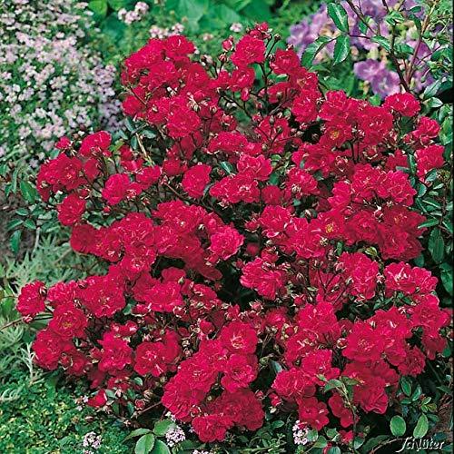 Rose Red The Fairy® - Bodendeckerrose dunkelrosa-rote Blüten - Kleinstrauchrose Pflanze Duftend Winterhart Halbschattig von Garten Schlüter - Pflanzen in Top Qualität