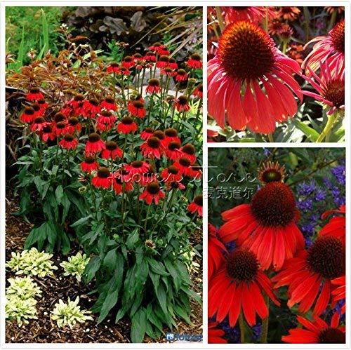 RETS Seeds: 100 PC-Sonnenhut Samen Schöne Gärten s Säen Starke Dekorative Landschaftsbau Hof Umgeben