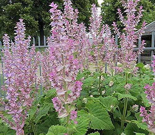 Muskatellersalbei - Salvia sclarea - 50 Samen