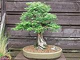 100 semillas del árbol de la secoya de amanecer Metasequoia glyptostroboides Bonsai USA - BKSeeds
