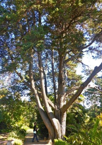 TROPICA - Monterey-Zypresse (Cupressus macrocarpa) - 50 Samen