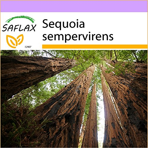 SAFLAX - Secuoya roja - 50 semillas - Sequoia sempervirens