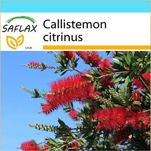 SAFLAX - Confezione regalo - Callistemo - 400 semi - Callistemon citrinus