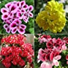 WuWxiuzhzhuo, 50 semi misti di geranio, pelargonium hortorum, pianta fiorita per balcone, giardino #1