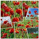 Semi di fiori di papavero rosso mais (10g = 80000+) Semi di fiori da esterno facili da vivere Primavera e autunno Giardino resistente per giardino Balcone Piante in vaso (10g)
