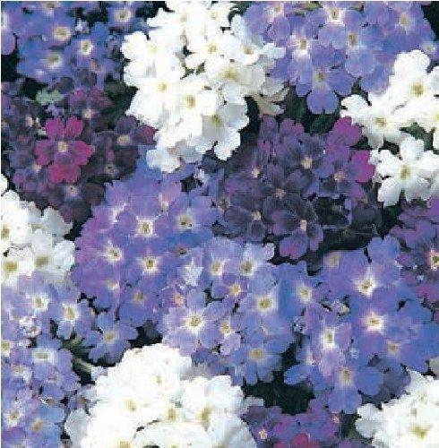 Il vous suffit de graines de fleurs???Verveine ? quartz XP Cascade M?lange???20?graines