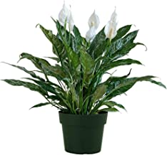 """American Plant Exchange Variegated Spathiphyllum Domino Peace Lily Live Plant, 6"""" Pot, Top Indoor Air Purifier"""