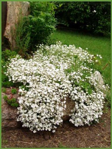 1000 BABYS BREATH COVENANT GARDEN Gypsophila Elegans Flower Seeds