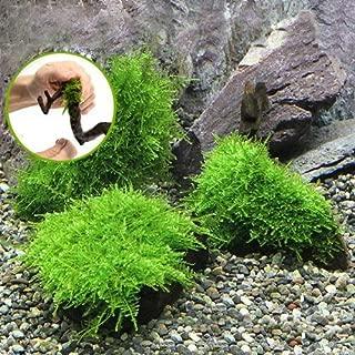 (水草)巻きたて 南米ウィローモス付 流木 SSサイズ(8cm以下)(無農薬)(1本) 本州・四国限定[生体]